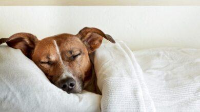 Photo of Köpeklerle İnsanların Uyku Alışkanları Benzerlik Gösteriyor